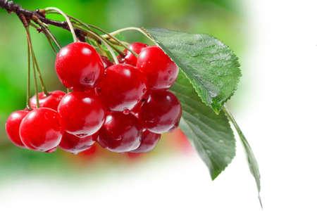 Beautiful Fresh Cherries on Branch photo