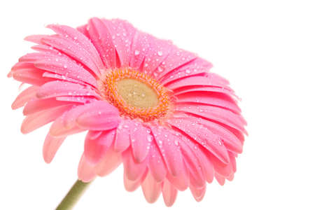 gerber: beautiful pink gerbera with drops isolated on white