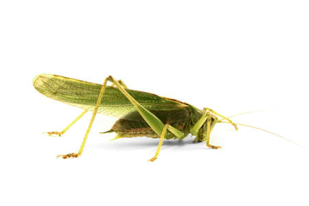 green locust isolated on white background photo