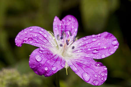 lila: lila flowers with water droplets on the petals. shallow depth of field