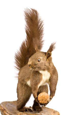 vulgaris: Eurasian red squirrel - Sciurus vulgaris in front of a white background  Stock Photo