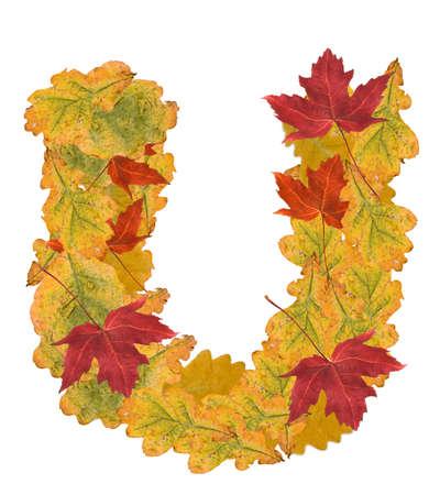 Alphabet of autumn leaves . Letter U photo