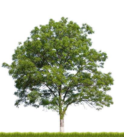 hojas de arbol: Árbol aislado contra un fondo blanco Foto de archivo