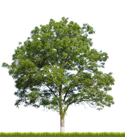 Tree isolated against a white background Stock Photo - 10182207