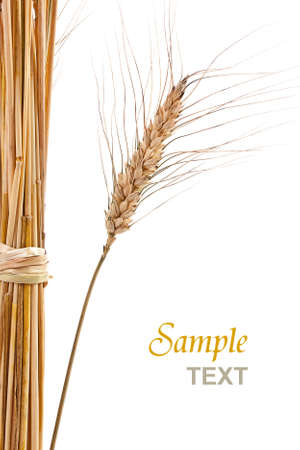 dry grass: Wheat isolated on white with text