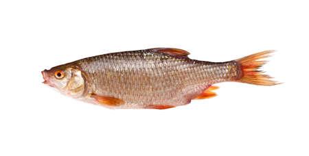 Roach (rutilus rutilus), isolated on white background