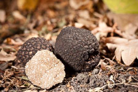truffle: Black truffles tuber on leaves Stock Photo