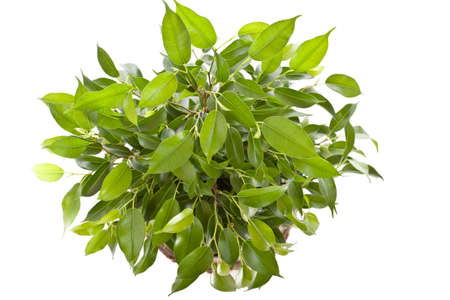 ficus: Weeping Fig (Ficus Benjamina) in pot isolated on white background