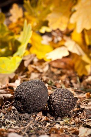 Black truffles tuber on crust