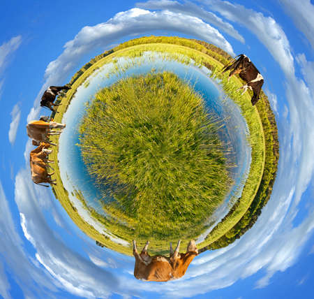 grass plot: Little planet panorama whit cows