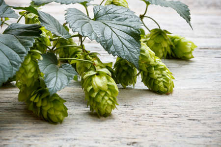 Green plant hops on old wood table Stock Photo - 15571779