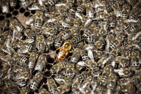 bee swarm: Macro shot of bees swarming on a honeycomb, queen in the middle