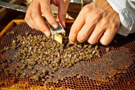 bee queen: Apicultor la introducci�n de una nueva abeja reina en una jaula de introducci�n