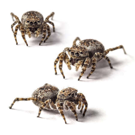 arcuata: Small jumping spider on a white background  Stock Photo