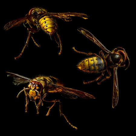 Group of hornet macro on black background photo