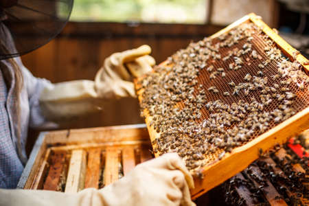 pollinator: Beekeeper holding a frame of honeycomb