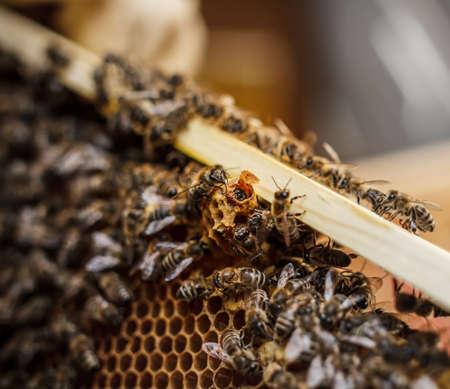 bee queen: Abeja reina nacimiento en tazas queen Foto de archivo