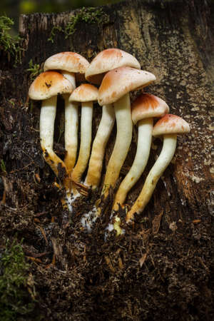 fascicle: Sulphur Tuft fungus growing on an old mossy tree stump