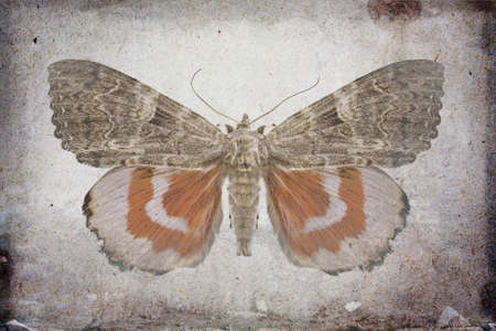 underwing: Grunge background with red underwing butterfly
