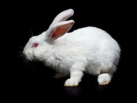 White rabbit on black background  photo