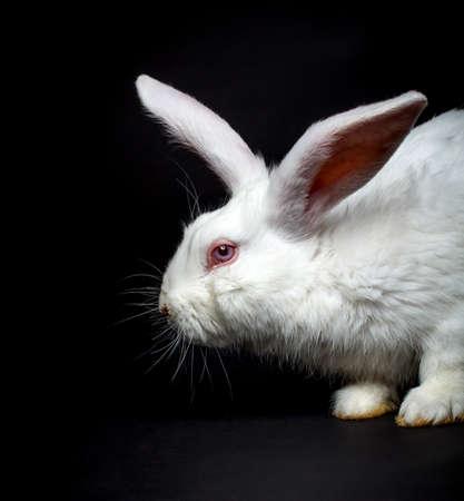 White fluffy rabbit on a black background  photo
