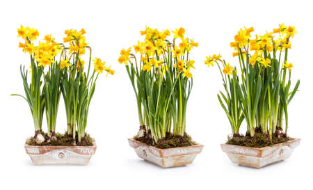 Beautiful spring narcissus flowers in pot  photo