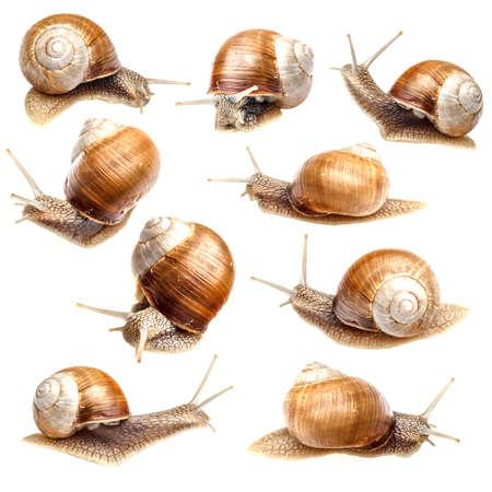 caracol: Conjunto de animales, recolección de caracol aislados en blanco Foto de archivo