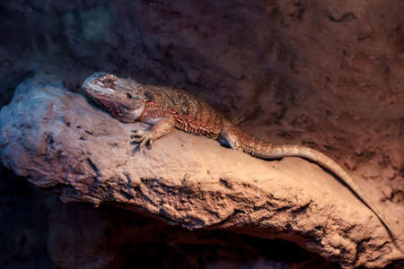 domestico: Bearded dragon self-consciousness on rock