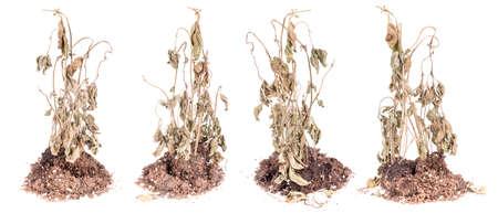 desolaci�n: Conjunto de plantas marchitas aislado en blanco Foto de archivo