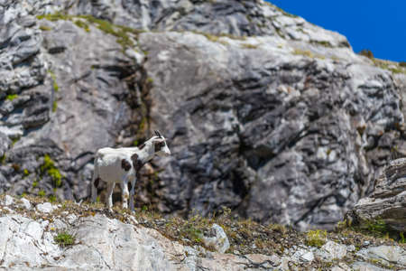 habitat: Young goat in rocky alpine habitat