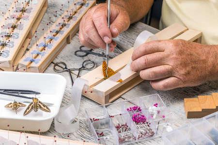 pinning: Man spread a butterfly on a butterfly spreading board