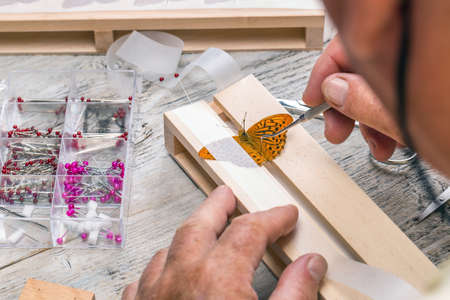 pinning: Pinning wild butterflies for museum display Stock Photo