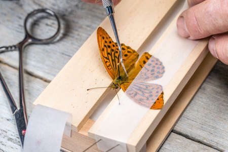 pinning: Man spreading butterfly wings with a strip of glassine Stock Photo