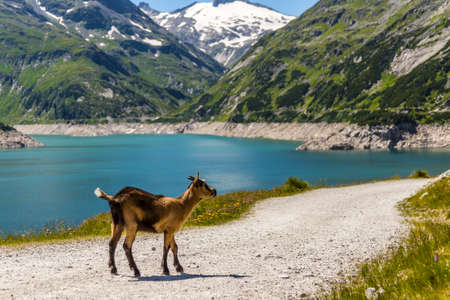 brown goat: Young brown goat at an Alpine in Austria Stock Photo