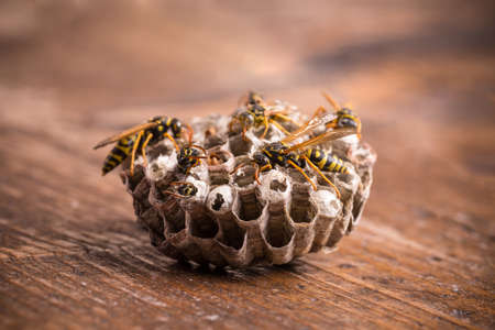 paper wasp: Paper wasp nest on wooden board Stock Photo