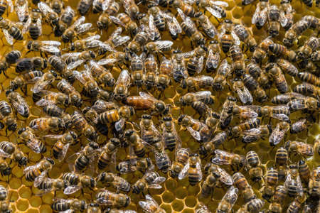 abeja reina: Abeja reina está siempre rodeado de los trabajadores