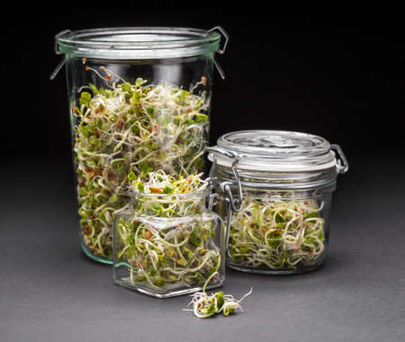 germinate: Set of glass jars full of sprouted seeds