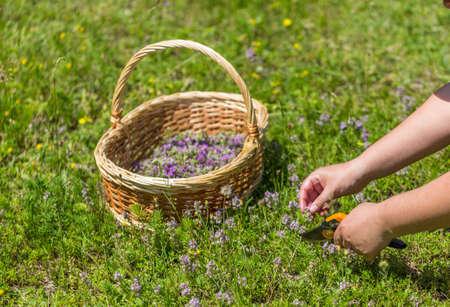herbolaria: Woman herbalist collecting wild oregano herbs