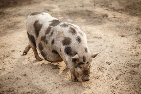 potbellied: Pink and black speckled pot-bellied pig
