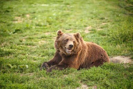 bear berry: European brown bear resting in grass