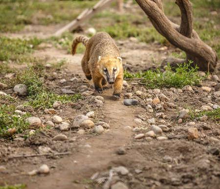 South American coati (Nasua nasua), also known as the ring-tailed coati. Wildlife animal. Stock Photo
