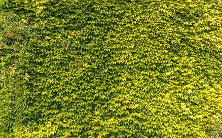 hedgerow: Green leaves wall background in summer time