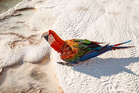 Cute bright colorful parrot on the white travertine pools surface in Pamukkale, Turkey