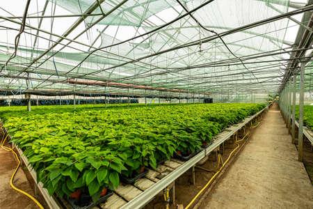 Small plants of poinsettia