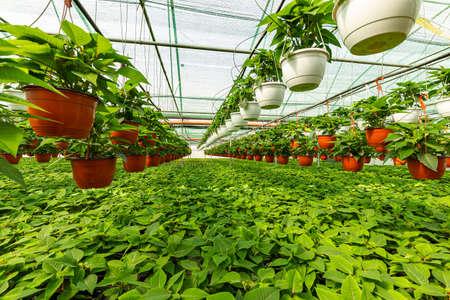 Plants nursery in a greenhouse. 免版税图像