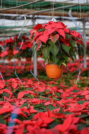 Inside greenhouse red poinsettia plants. Holiday flower in pot