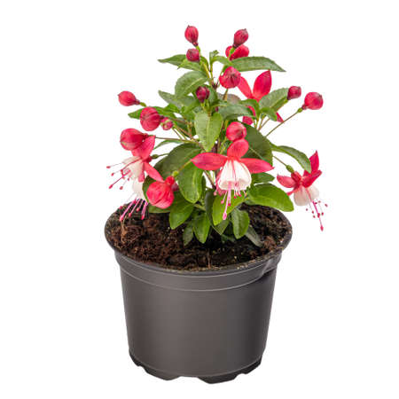 Potted pink and white Fuchsia flowers on white background