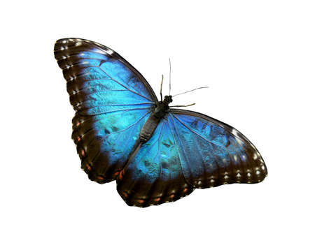 isolated blue butterfly Stock Photo