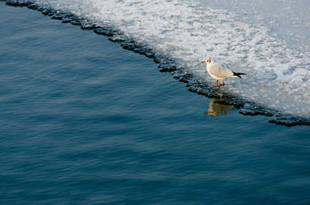 lonely seagull on frozen lake Stock Photo - 17627136