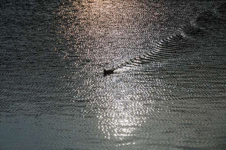 lonely duck on a lake causing a pattern of waves